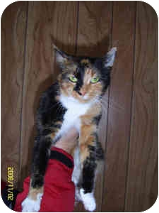 Calico Kitten for adoption in Elliot Lake, Ontario - Queenie