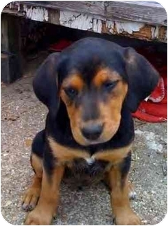 Beagle/Hound (Unknown Type) Mix Puppy for adoption in Fenton, Missouri - LIl sis and Big sis