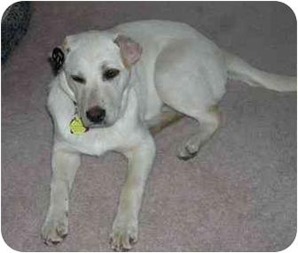Labrador Retriever Mix Puppy for adoption in Evergreen, Colorado - Nellie
