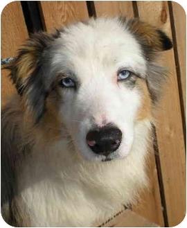 Australian Shepherd Dog for adoption in Elk City, Oklahoma - Marty
