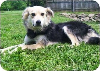 Collie/German Shepherd Dog Mix Dog for adoption in Latrobe, Pennsylvania - Gordon