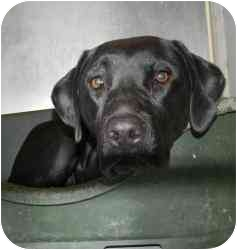 Labrador Retriever Mix Dog for adoption in Kansas City, Missouri - Courtesy List-Margo