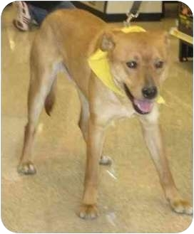 Labrador Retriever Mix Dog for adoption in Lubbock, Texas - Isaac