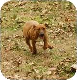 Shar Pei/Hound (Unknown Type) Mix Puppy for adoption in Windham, New Hampshire - Pixie