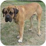 Mastiff Dog for adoption in Palmyra, Wisconsin - Roland