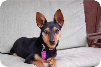 Manchester Terrier Mix Dog for adoption in Lexington, Kentucky - Sophia