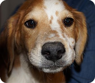 Border Collie Mix Puppy for adoption in Wappingers, New York - Henry