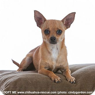 Chihuahua Mix Dog for adoption in Dallas, Texas - Reese