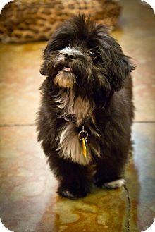 Maltese/Shih Tzu Mix Puppy for adoption in Orange, California - Boden