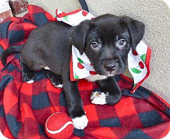 Labrador Retriever/Labrador Retriever Mix Puppy for adoption in Baton Rouge, Louisiana - Paxton