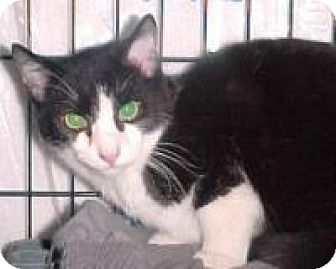 Domestic Shorthair Cat for adoption in East Brunswick, New Jersey - Checkers