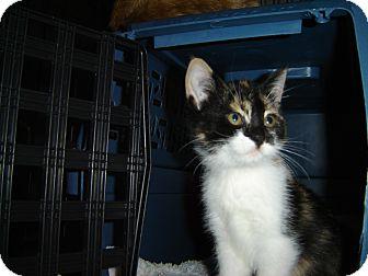 Calico Kitten for adoption in Grayslake, Illinois - Fancy