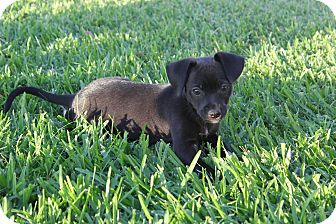 Terrier (Unknown Type, Small) Mix Puppy for adoption in Rancho Cucamonga, California - Jade