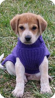 Labrador Retriever/German Shepherd Dog Mix Puppy for adoption in Westport, Connecticut - Squirt