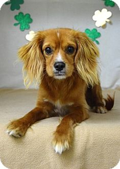 Spaniel (Unknown Type) Mix Dog for adoption in Dublin, California - Tommy