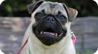 Pug Dog for adoption in Pismo Beach, California - Pebbles