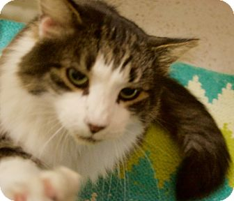 Maine Coon Cat for adoption in North Kingstown, Rhode Island - Romeo