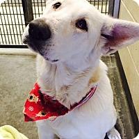 Adopt A Pet :: Christmas Snow - Phoenix, AZ
