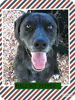 Labrador Retriever Mix Dog for adoption in Brattleboro, Vermont - Sgt. Pepper (pom-Steve)