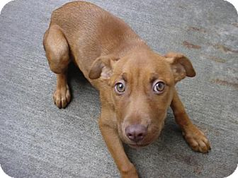 Labrador Retriever/Brittany Mix Puppy for adoption in Olympia, Washington - 42497