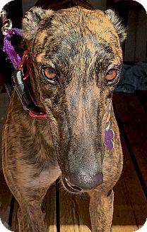 Greyhound Dog for adoption in Tucson, Arizona - Schmiggles