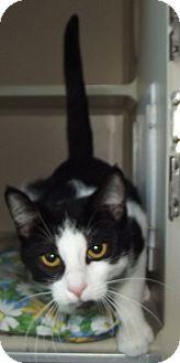 Domestic Shorthair Cat for adoption in Cheboygan, Michigan - Gizmo
