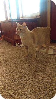 Manx Cat for adoption in Coleman, Oklahoma - Buckwheat Barley
