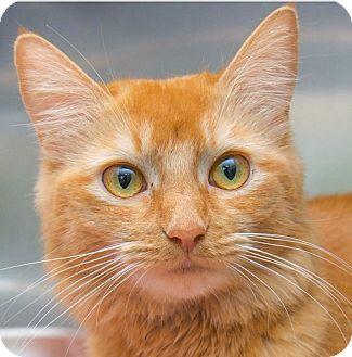 Domestic Mediumhair Cat for adoption in Midvale, Utah - Venus