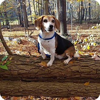 Beagle Mix Dog for adoption in Elyria, Ohio - Spanky