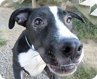Labrador Retriever/Border Collie Mix Dog for adoption in kennebunkport, Maine - Dallas 2