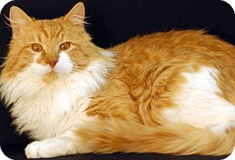 Domestic Longhair Cat for adoption in Newland, North Carolina - Dublin