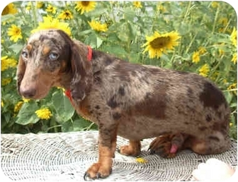 Dachshund Mix Puppy for adoption in Provo, Utah - COOPER