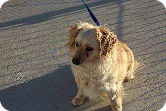 Spaniel (Unknown Type) Dog for adoption in Yucca Valley, California - Zena Ruby Hemera