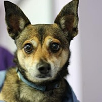 Adopt A Pet :: Max Tough Stuff - Fresno, CA