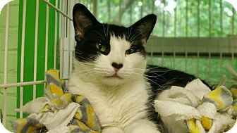 Domestic Shorthair Cat for adoption in Bloomingdale, New Jersey - Thalia