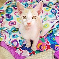 Adopt A Pet :: Bacardi - San Dimas, CA