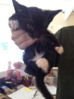 Domestic Shorthair/Domestic Shorthair Mix Kitten for adoption in St. Thomas, Virgin Islands - Monday
