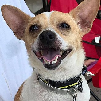 Jack Russell Terrier/Rat Terrier Mix Dog for adoption in Fairfax, Virginia - Pedro  *Adopt or Foster*