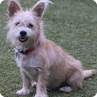 Adopt A Pet :: Miss America! - Woonsocket, RI