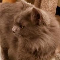 Adopt A Pet :: Nigel - Bolingbrook, IL