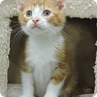 Domestic Shorthair Kitten for adoption in Livonia, Michigan - Creamcicle