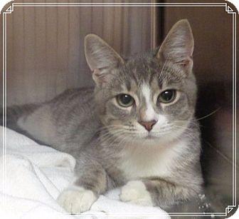 Domestic Shorthair Cat for adoption in Marietta, Georgia - ROCHELLE AVAIL 8/8