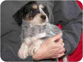 Schnauzer (Miniature)/Beagle Mix Puppy for adoption in Ripley, Ohio - River