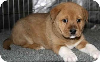 Shepherd (Unknown Type) Mix Puppy for adoption in Sacramento, California - Ochre!