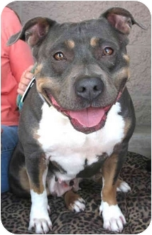 American Pit Bull Terrier Mix Dog for adoption in Vista, California - Sammi