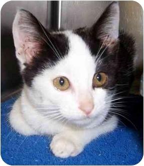 Domestic Shorthair Kitten for adoption in Oklahoma City, Oklahoma - Rusty