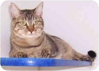 Domestic Shorthair Cat for adoption in Oklahoma City, Oklahoma - Shirley