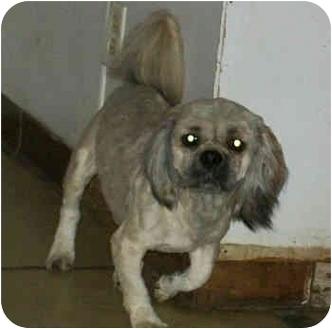 Lhasa Apso Mix Dog for adoption in Murphysboro, Illinois - Carlin