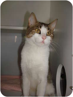 Domestic Shorthair Cat for adoption in Lake Charles, Louisiana - Niki