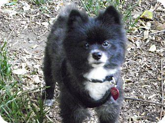 Pomeranian Dog for adoption in Hesperus, Colorado - STERLING